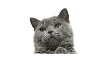 cat with yellow eyes sits behind a white banner and looking up