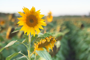 Sunflowers amongst a field in the afternoon in Queensland