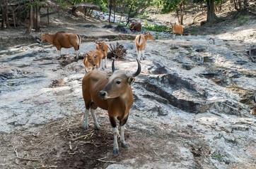 Family banteng (Bos javanicus) in Thailand.