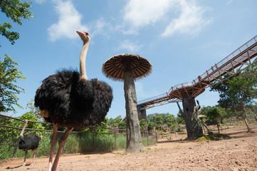 African ostrich (Struthio camelus) in Khon Kaen zoo, Thailand