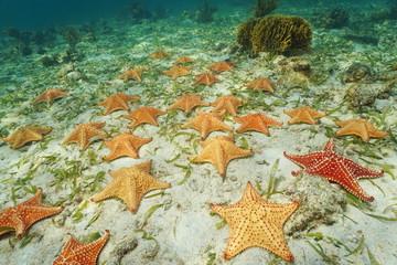 Group of starfish Cushion sea star on sea bottom