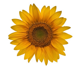 small sunflower closeup on white background