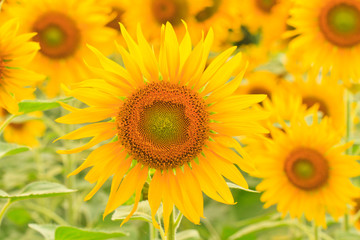 sunflower.s