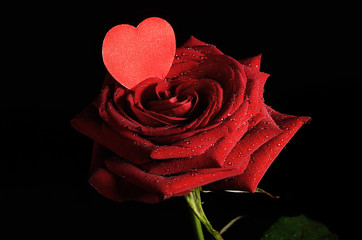 Rose isolated on dark background