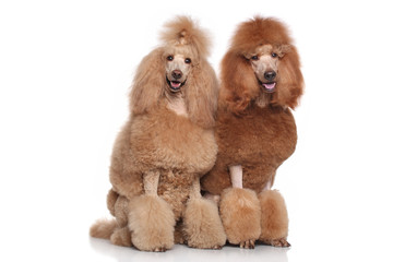 Wall Mural - Two Standard Poodles