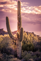 Saguaro Cactus tree, Arizona,USA
