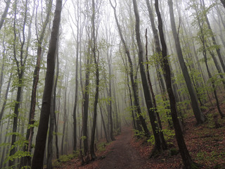 Spring, Foggy Forest Coming Back To Life