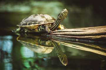 turtle sitting on branch reflection in water
