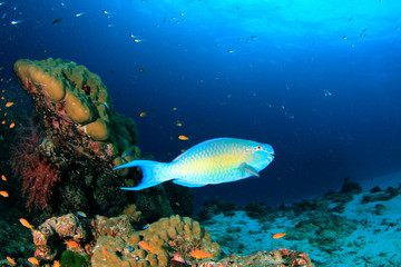 Parrotfish on coral reef underwater in ocean
