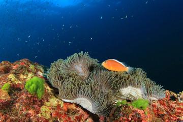 Skunk clownfish (Nemo) in anemone