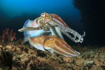 Cuttlefish pair sex mating