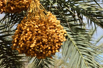Dattelpalme - Reife Datteln - Marokko