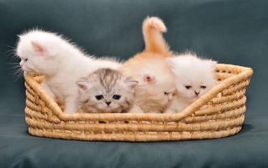 Small British kittens in   basket on  dark background.