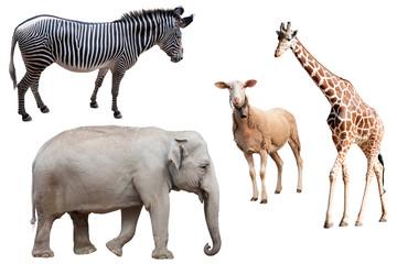 A Zebra, Elephant, Sheep and Giraffe Isolated