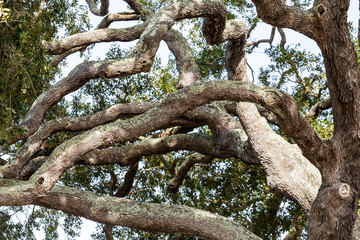 Many Gnarled Oak Limbs