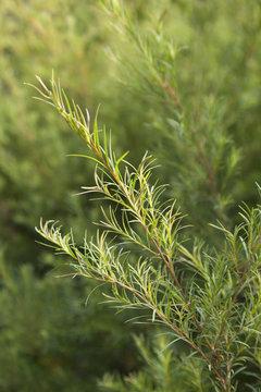 Tea tree sprig