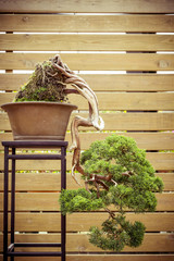 old bonsai tree in a  flower pot grows downwards