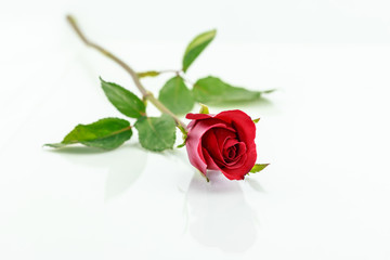 red rose isolated with shadow horizontally