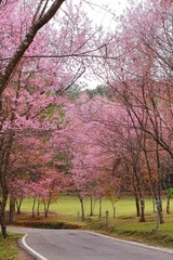 Cherry blossom in chiangmai thailand At inthanon mountain
