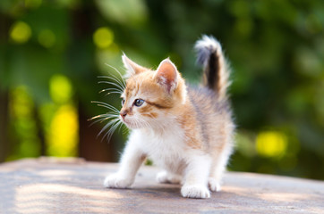 red, white kitten with blue eyes play on green background