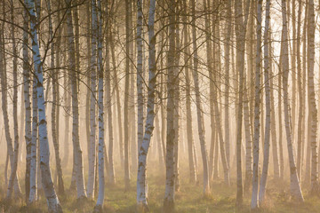 Morning fog in the birch woods