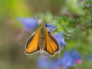 Braunkolbiger Braundickkopffalter (Thymelicus sylvestris)
