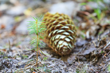 Beginning of young spruce tree life