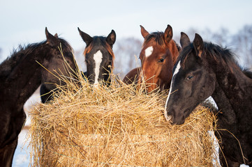 Wall Mural - Four young horses eating hay outdoors