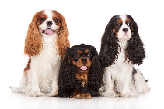 three cavalier king charles spaniel dogs