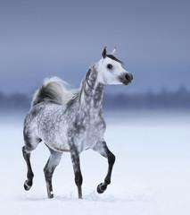 Fototapete - Arabian horse in motion on snow field