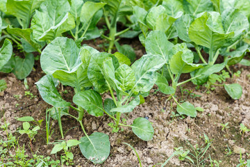 Kale vegetable garden plant