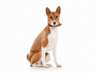 Young Basenji on white background