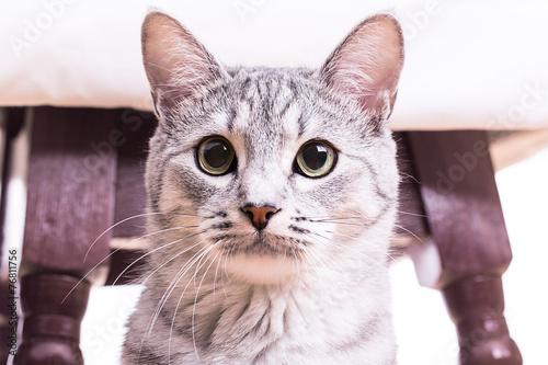 Gray black striped tabby cat