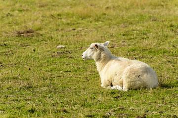 Romney Marsh sheep 14