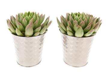 Succulent plants in pot