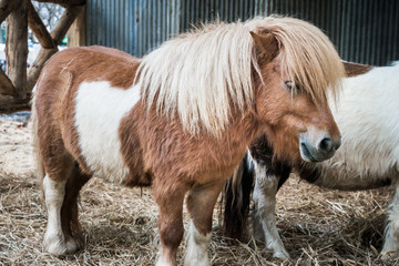 Brown miniature horse with long hair