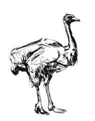 Ostrich. Ink sketch.