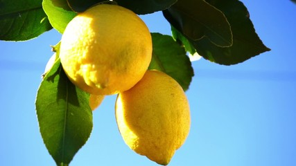 Wall Mural - fresh lemons in sunlight and blue sky