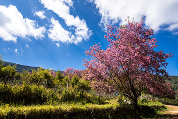 cherry blossom three with  mountain and blue sky,Thailand
