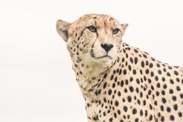 Headshot of cheetah against white background. Tenikwa wildlife s