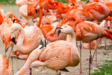 Wall Murals Flamingo Flamingos birds