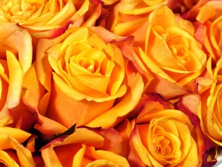 Orange yellow roses as a gift