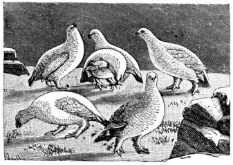 Victorian engraving of arctic ptarmigan