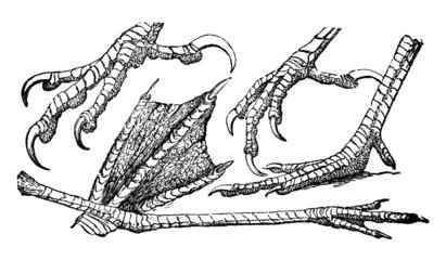 Victorian engraving of different bird feet. Fotoväggar