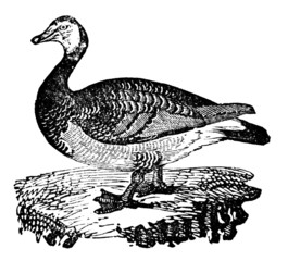 Victorian engraving of a barnacle goose.