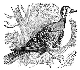 Victorian engraving of a carrier pigeon.