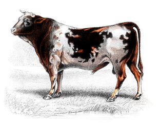 Victorian engraving of a cow.