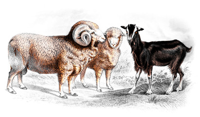 Victorian engraving of sheep and goats.