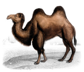 Victorian engraving of a camel.