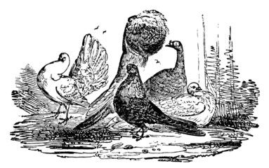 19th century engraving of different breeds of pigeons